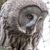 Animals, Birds, Great Grey Owl, Marwell Zoo, Owl - 20/02/2005