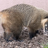 Animals, Coati, Marwell Zoo, Ring-tailed Coati @ Marwell Zoo, City of Winchester,England - 22/03/2018