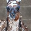 Animals, Llama, Marwell Zoo - 20/02/2005