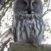 Animals, Birds, Great Grey Owl, Marwell Zoo, Owl - 20/03/2012