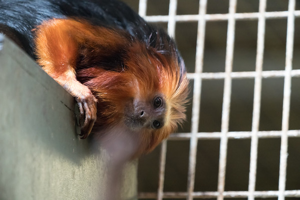 Animals, Golden Lion Tamarin, Marwell Zoo, Tamarin @ Marwell Zoo, City of Winchester,England - 26/04/2018