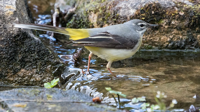 Animals, Birds, Grey wagtail, Marwell Zoo @ Marwell Zoo, City of Winchester,England - 26/04/2018