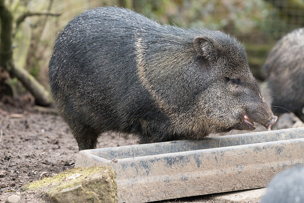 Animals, Collared Peccary, Marwell Zoo @ Marwell Zoo, City of Winchester,England - 22/03/2018