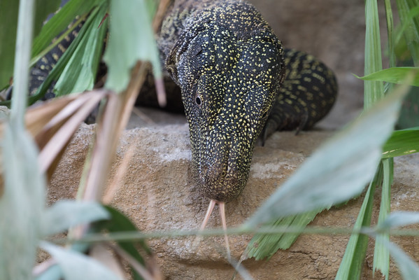 Animals, Crocodile Monitor, Marwell Zoo, Tropical House @ Marwell Zoo, City of Winchester,England - 26/04/2018