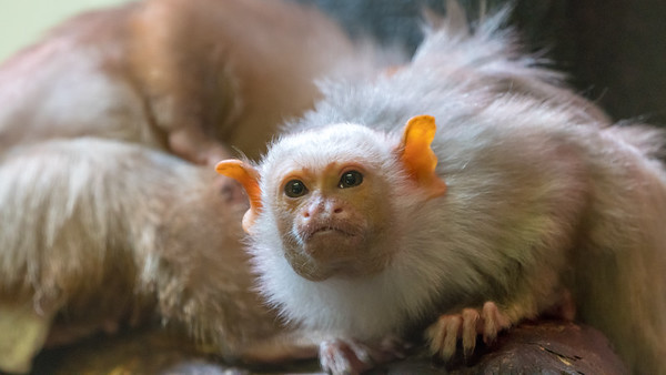 Animals, Marwell Zoo, Silvery Marmoset @ Marwell Zoo, City of Winchester,England - 22/03/2018