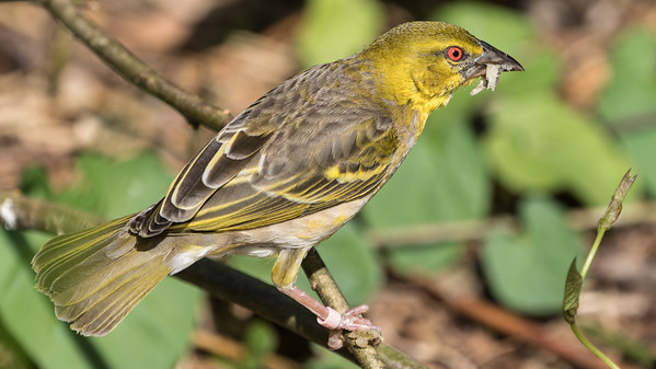 Animals, Birds, Marwell Zoo, Village Weaver @ Marwell Zoo, City of Winchester,England - 26/04/2018