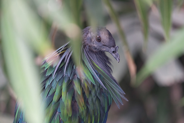 Animals, Birds, Marwell Zoo, Nicobar Pigeon, Pigeon, Tropical House @ Marwell Zoo, City of Winchester,England - 26/04/2018