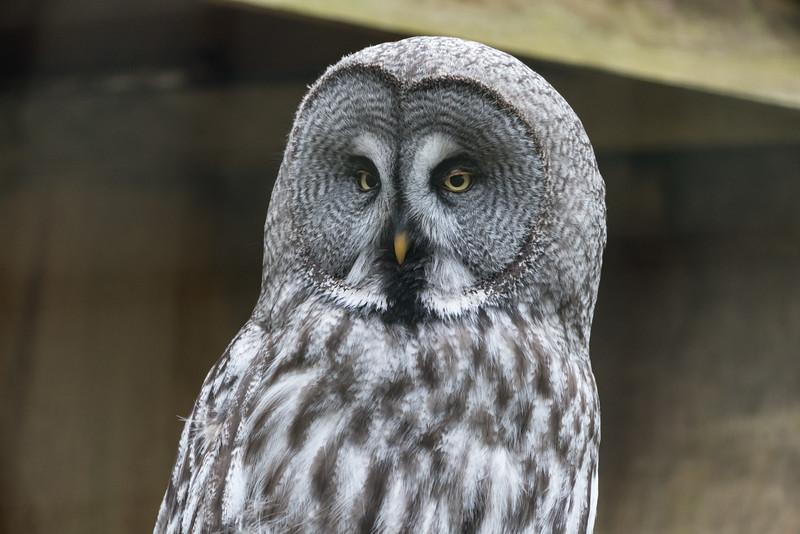 Animals, Birds, Great Grey Owl, Marwell Zoo, Owl @ Marwell Zoo, City of Winchester,England - 22/03/2018