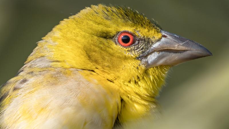 Animals, Birds, Marwell Zoo, Village Weaver, Walkthrough Aviary @ Marwell Zoo, City of Winchester,England - 24/02/2018
