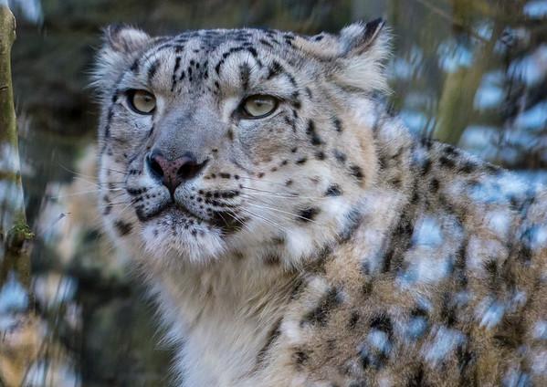 Animals, Big Cat, Leopard, Marwell Zoo, Snow Leopard - 02/02/2013
