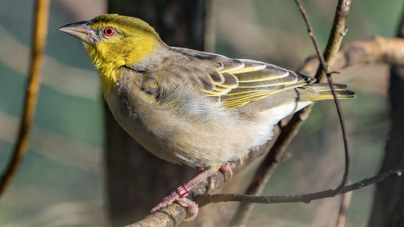 Animals, Birds, Marwell Zoo, Village Weaver, Walkthrough Aviary @ Marwell Zoo, City of Winchester,England