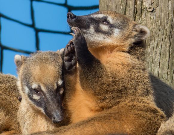 Animals, Coati, Marwell Zoo, Ring-tailed Coati - 02/02/2013