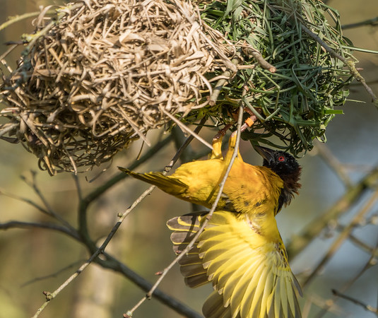 Animals, Birds, Marwell Zoo, Village Weaver, Walkthrough Aviary @ Marwell Zoo, City of Winchester,England - 24/02/2018