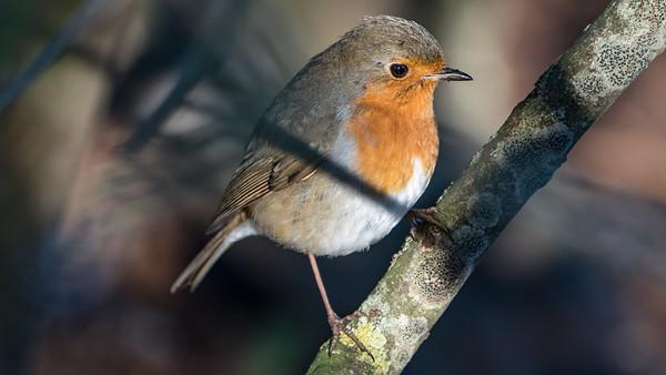 Animals, Birds, Marwell Zoo, Robin @ Marwell Zoo, City of Winchester,England