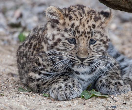 Amur Leopard, Animals, Big Cat, Leopard, Marwell Zoo - 25/03/2005