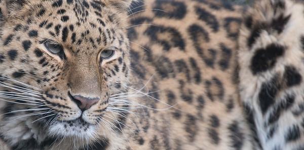 Amur Leopard, Animals, Big Cat, Leopard, Marwell Zoo, Zoo - 26/02/2016