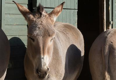 African Wild Ass, Animals, Marwell Zoo - 02/02/2013
