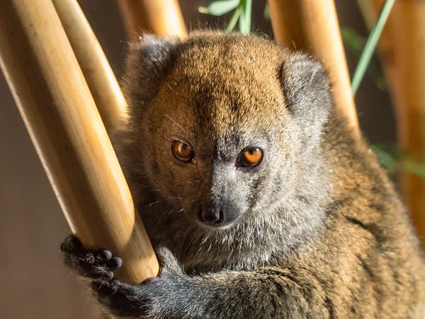 Alaotran Gentle Lemur, Animals, Lemur, Marwell Zoo - 02/02/2013