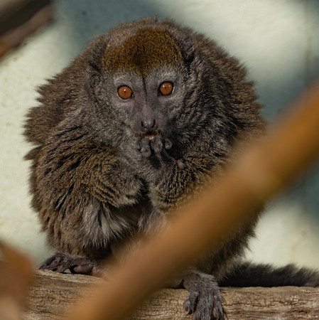 Alaotran Gentle Lemur, Animals, Lemur, Marwell Zoo @ Marwell Zoo, City of Winchester,England - 24/02/2018