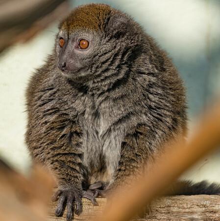 Alaotran Gentle Lemur, Animals, Lemur, Marwell Zoo @ Marwell Zoo, City of Winchester,England - 24/02/2018