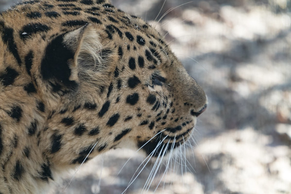 Amur Leopard, Animals, Big Cat, Leopard, Marwell Zoo @ Marwell Zoo, City of Winchester,England - 04/02/2018