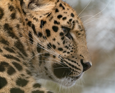 Amur Leopard, Animals, Big Cat, Leopard, Marwell Zoo @ Colden Common, City of Winchester,England