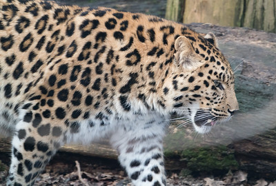 Amur Leopard, Animals, Big Cat, Leopard, Marwell Zoo @ Marwell Zoo, City of Winchester,England - 28/01/2018