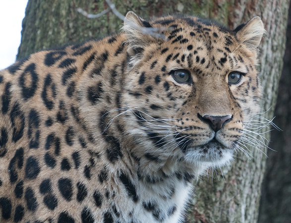 Amur Leopard, Animals, Big Cat, Leopard, Marwell Zoo @ MarWell Zoo, City of Winchester,England