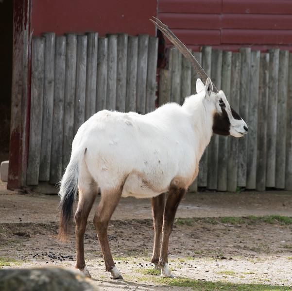 Animals, Arabian Oryx, Marwell Zoo - 30/03/2016