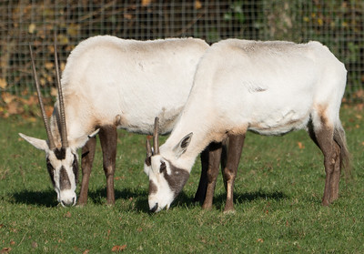 Animals, Arabian Oryx, Marwell Zoo