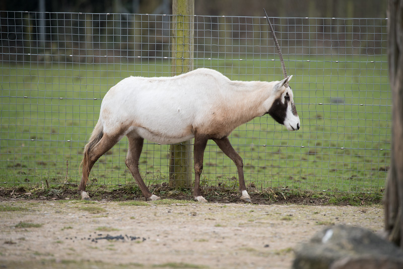 Animals, Arabian Oryx, Marwell Zoo, Zoo - 26/02/2016