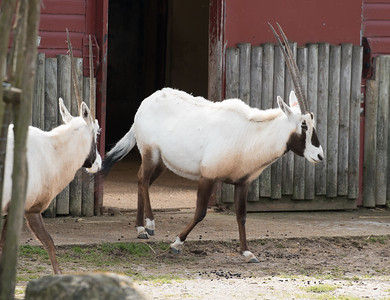 Animals, Arabian Oryx, Marwell Zoo - 30/03/2016