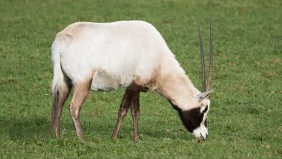 Animals, Arabian Oryx, Marwell Zoo; ,,,