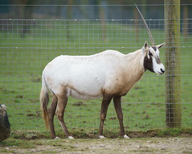 Animals, Arabian Oryx, Marwell Zoo, Zoo - 26/02/2016