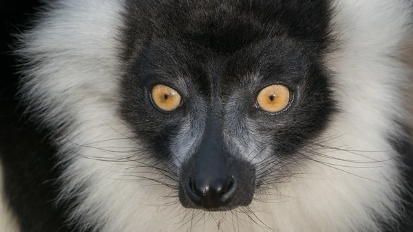 Animals, Black and White Ruffed Lemur, Lemur, Marwell Zoo - 09/12/2017