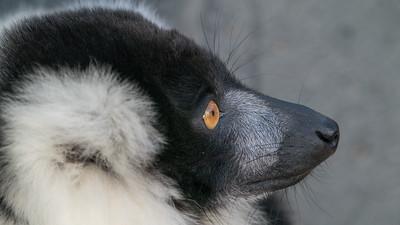 Animals, Black and White Ruffed Lemur, Lemur, Marwell Zoo - 09/12/2017