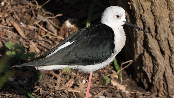 Animals, Birds, Black-winged Stilt, Marwell Zoo, Walkthrough Aviary @ Marwell Zoo, City of Winchester,England