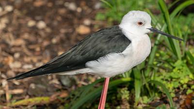 Animals, Birds, Black-winged Stilt, Marwell Zoo, Walkthrough Aviary @ Marwell Zoo, City of Winchester,England - 28/01/2018