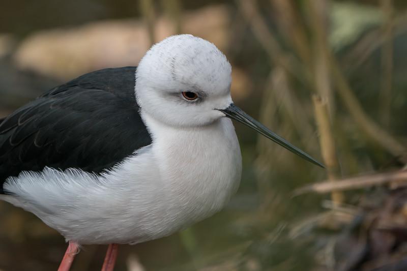 Animals, Birds, Black-winged Stilt, Marwell Zoo @ Colden Common, City of Winchester,England