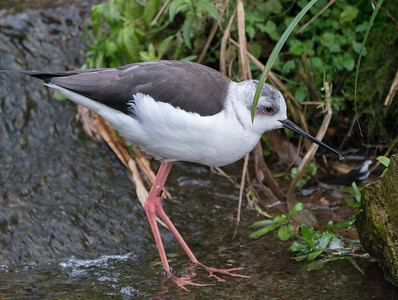 Animals, Birds, Black-winged Stilt, Marwell Zoo @ Colden Common, City of Winchester,England