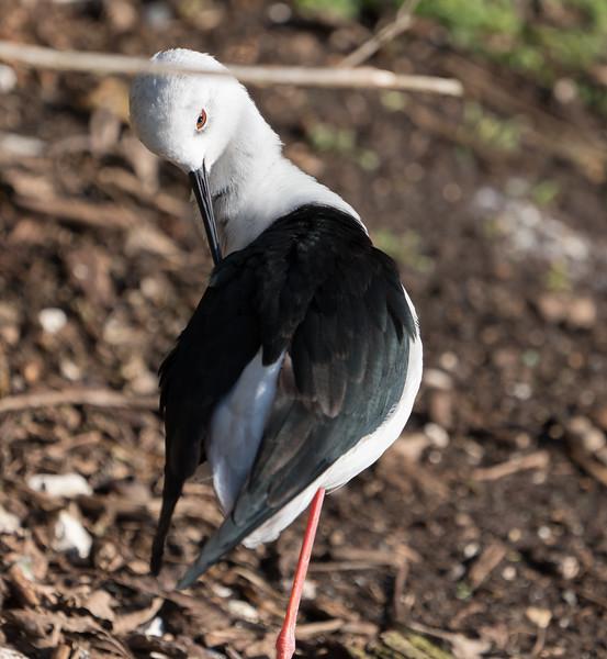 Animals, Birds, Black-winged Stilt, Marwell Zoo, Walkthrough Aviary @ Marwell Zoo, City of Winchester,England