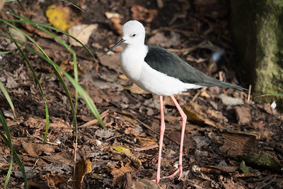 Animals, Birds, Black-winged Stilt, Marwell Zoo; ,,,