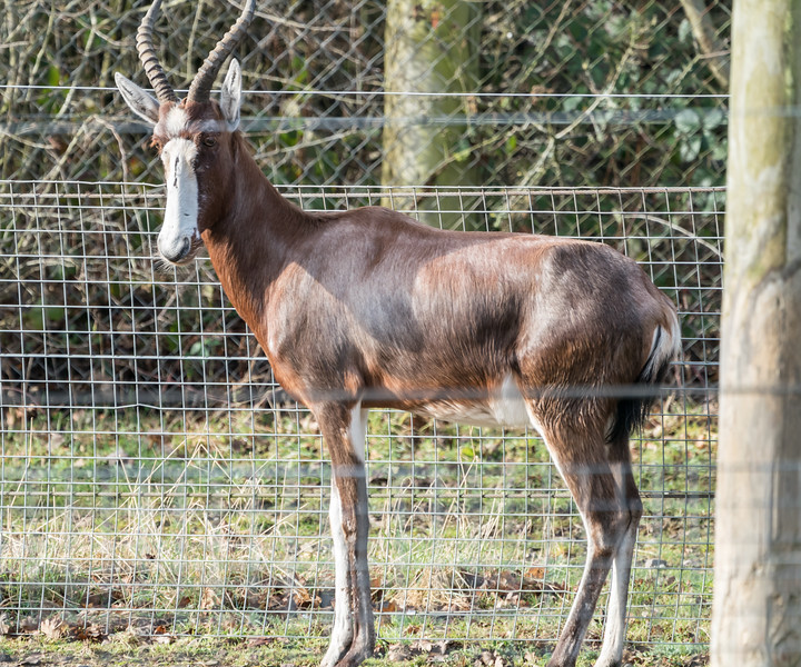 Animals, Blesbok, Marwell Zoo @ Marwell Zoo, City of Winchester,England - 28/01/2018
