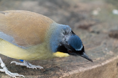 Animals, Birds, Blue-crowned Laughingthrush, Laughingthrush, Marwell Zoo, Walkthrough Aviary @ Marwell Zoo, City of Winchester,England - 04/02/2018