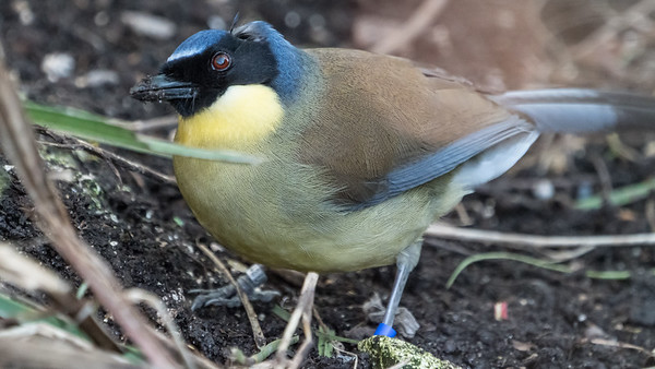 Animals, Birds, Blue-crowned Laughingthrush, Laughingthrush, Marwell Zoo, Walkthrough Aviary @ Marwell Zoo, City of Winchester,England - 24/02/2018