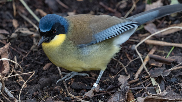 Animals, Birds, Blue-crowned Laughingthrush, Laughingthrush, Marwell Zoo, Walkthrough Aviary @ Marwell Zoo, City of Winchester,England