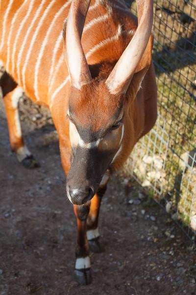 Animals, Antelope, Bongo, Marwell Zoo - 03/01/2009