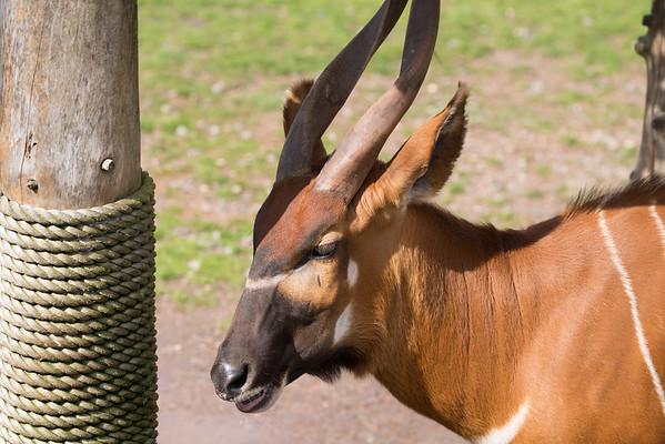 Animals, Antelope, Bongo, Marwell Zoo - 30/03/2016