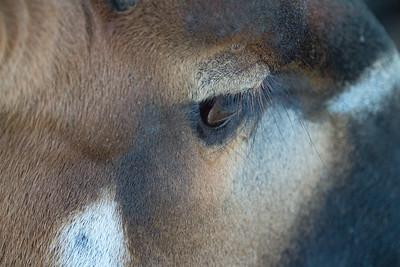 Animals, Antelope, Bongo, Marwell Zoo
