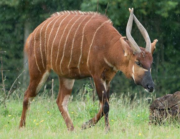 Animals, Antelope, Bongo, Marwell Zoo @ MarWell Zoo, City of Winchester,England - 05/08/2017